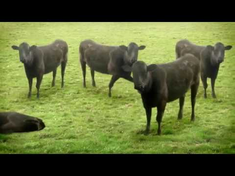 Funny cows dancing